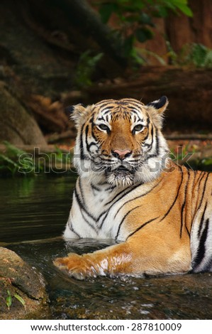Portrait of Malayan Tiger soaking in the water to cooling down his body - stock photo