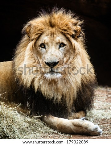 Portrait of male African lion - stock photo