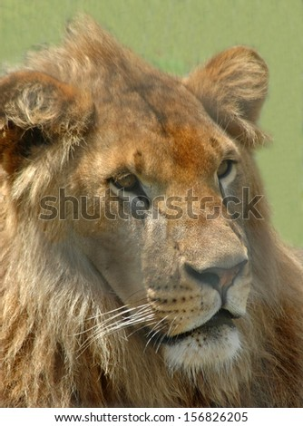 Portrait of male African lion, Panthera leo - stock photo