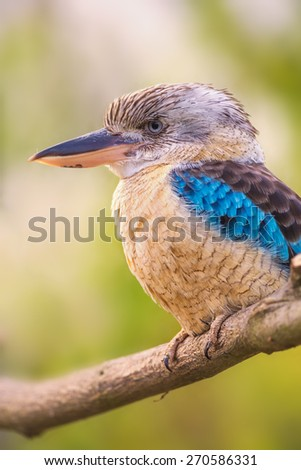 Portrait of male blue-winged kookaburra (Dacelo leachii) - stock photo