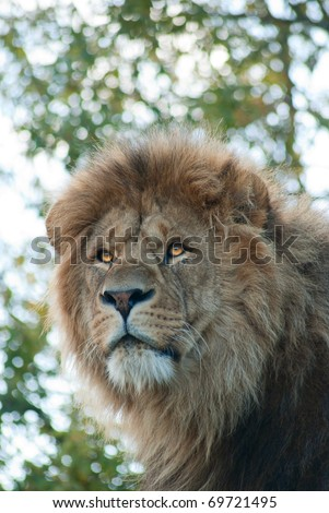 Portrait of male lion (Panthera Leo)