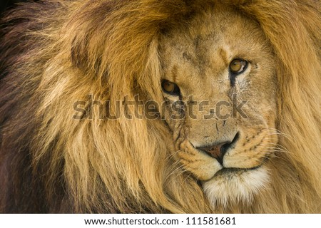 Portrait of male Lion staring into distance. - stock photo