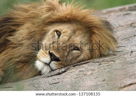 Portrait of male lion while lying on top of rock  - stock photo