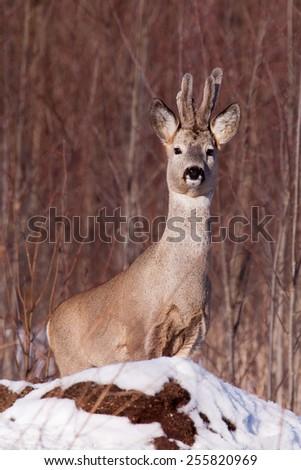 Portrait of male roe deer - stock photo