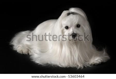 Portrait of maltese dog isolated on black - stock photo