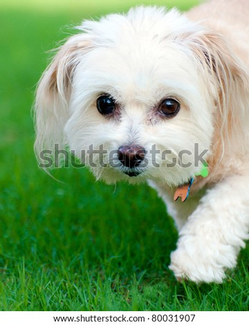Portrait of maltipoo dog running in field - stock photo