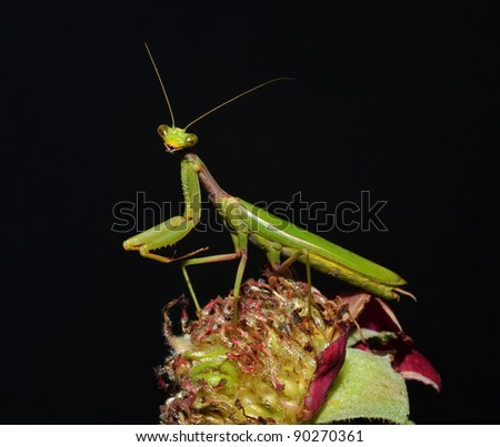 portrait of mantis on the flower - stock photo