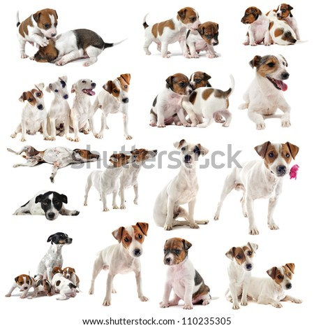portrait of many purebred jack russel terrier in studio