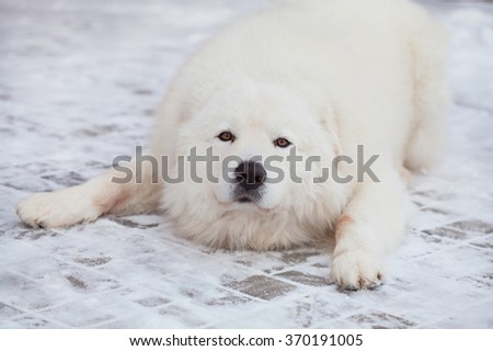 Portrait of Maremma or Abruzzese patrol dog on the snow in the garden, winter