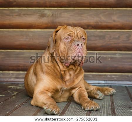 Portrait of mastiff on background log wall - stock photo