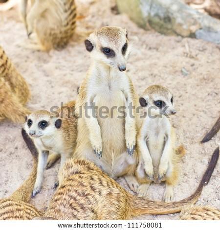 portrait of meercat - stock photo