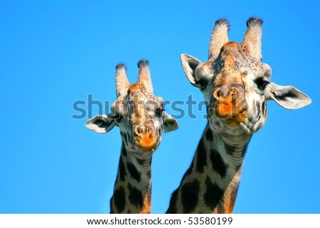 Portrait of mother and baby giraffe. Africa. Kenya. Masai mara - stock photo