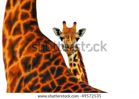 Portrait of mother and baby giraffe isolated in white background - stock photo