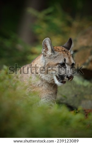 Portrait of Mountain Lion in the autum green forest - stock photo
