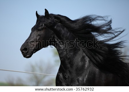 Portrait of moving friesian stallion - stock photo