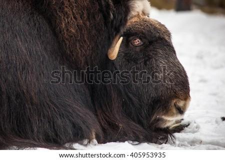 portrait of musk ox - stock photo