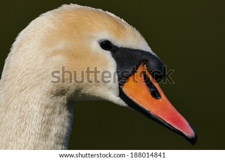 Portrait of  mute swan - stock photo