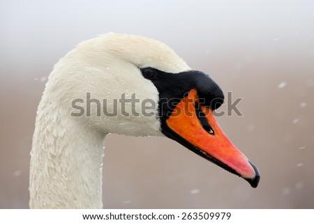 Portrait of mute swan - stock photo