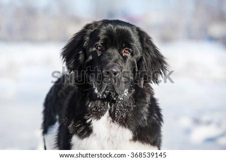 Portrait of newfoundland dog in winter - stock photo