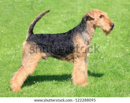 Portrait of nice airedale terrier in the garden - stock photo