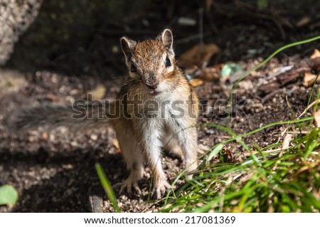 Portrait of nice and cute chipmunk closeup - stock photo