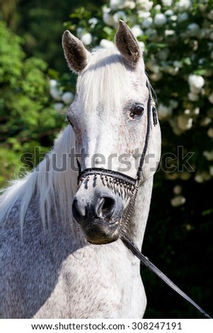 Portrait of nice arabian horse - stock photo