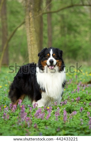 Portrait of nice Australian shepherd dog in the forest - stock photo