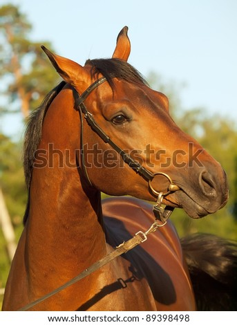 portrait of nice bay horse