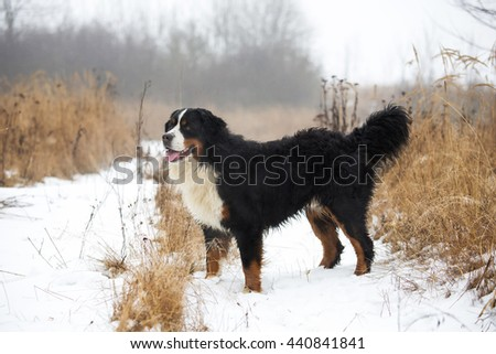 Portrait of nice Bernese mountain dog in winter - stock photo