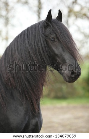 Portrait of nice black friesian stallion with long hair