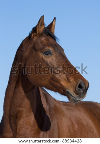 Portrait of nice brown horse on blue background - stock photo