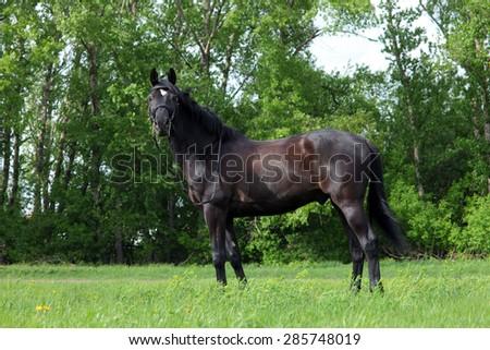 Portrait of nice brown warmblood horse walking on pasture - stock photo