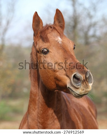 Portrait of nice chestnut horse looking at you - stock photo