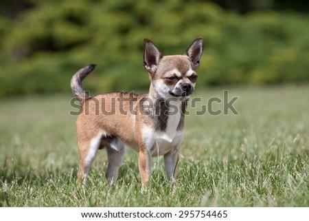 Portrait of nice chihuahua dog - stock photo