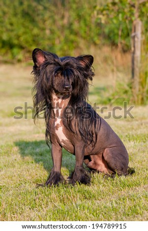 Portrait of nice chinese crested dog