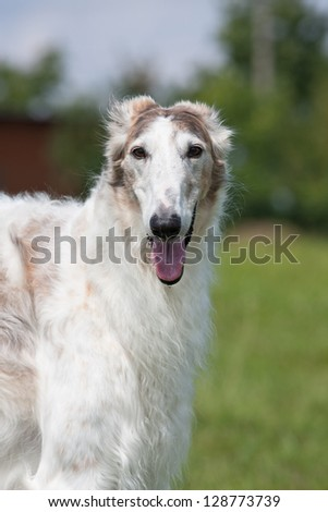 Portrait of nice dog - borzoi