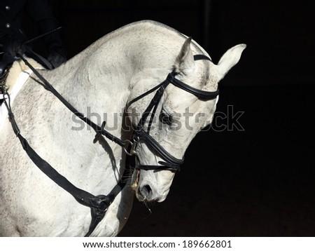 Portrait of nice dressage horse on black background - stock photo