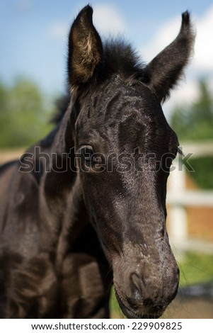 Portrait of nice foal - friesian horse  - stock photo