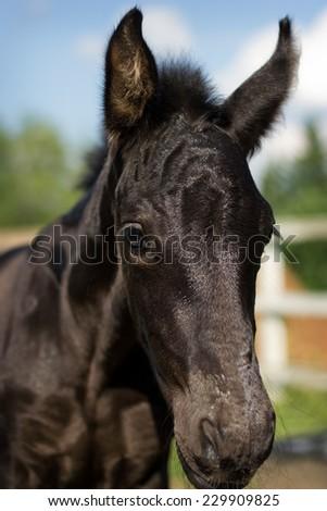 Portrait of nice foal - friesian horse  - stock photo