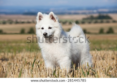 Portrait of nice german spitz - stock photo