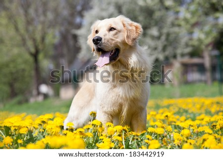 Portrait of nice golden retriever - stock photo