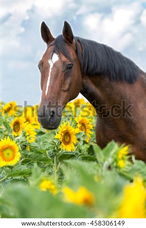 Portrait of nice horse in a field of sunflowers