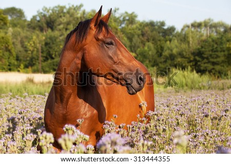 Portrait of nice horse on meadow violet flowers - stock photo