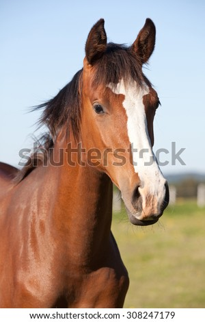 Portrait of nice hot blooded foal - stock photo