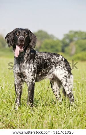 Portrait of nice large munsterlander dog - stock photo