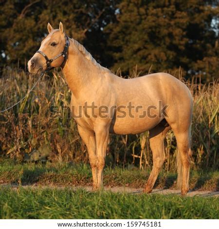 Portrait of nice palomino horse in autumn sunset - stock photo