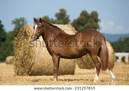 Portrait of nice pony in the field  - stock photo