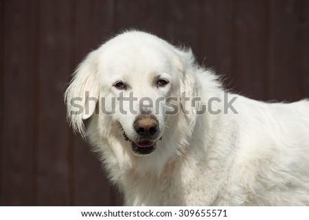 Portrait of nice Pyrenean mountain dog - stock photo