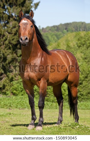 Portrait of nice quarter horse - stock photo