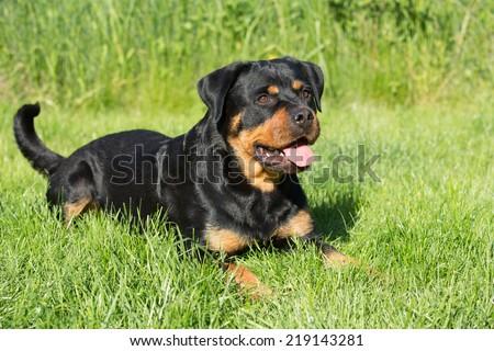 Portrait of nice Rottweiler in garden - stock photo